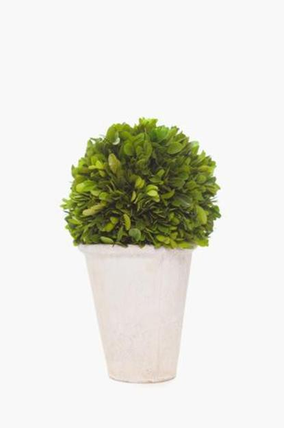 boxwood globe topiary tree