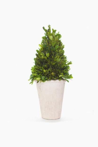 boxwood cone topiary tree