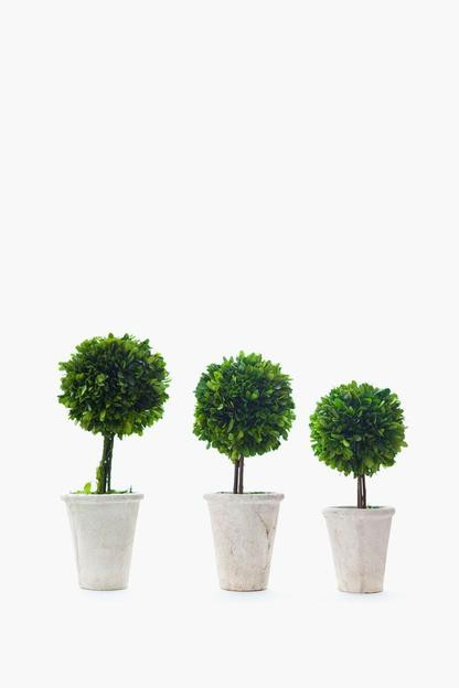 boxwood ball topiary tree